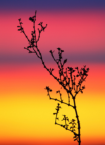 Creosote Bush / Photo by Steve Berardi