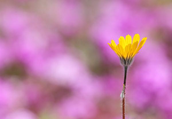 Desert Sunflower photo