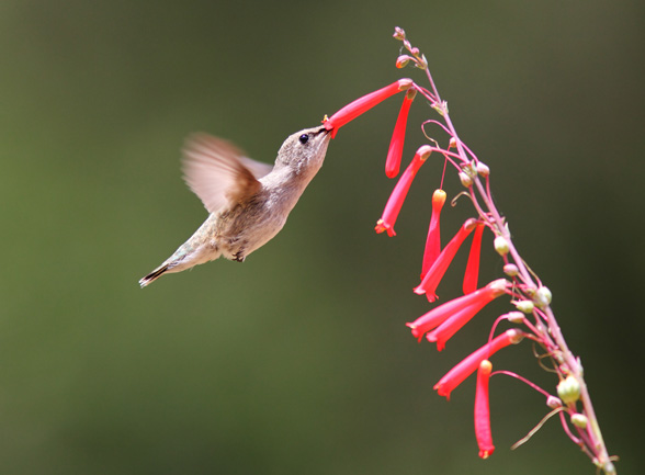 Black-chinned Hummingbird / Photo by Steve Berardi