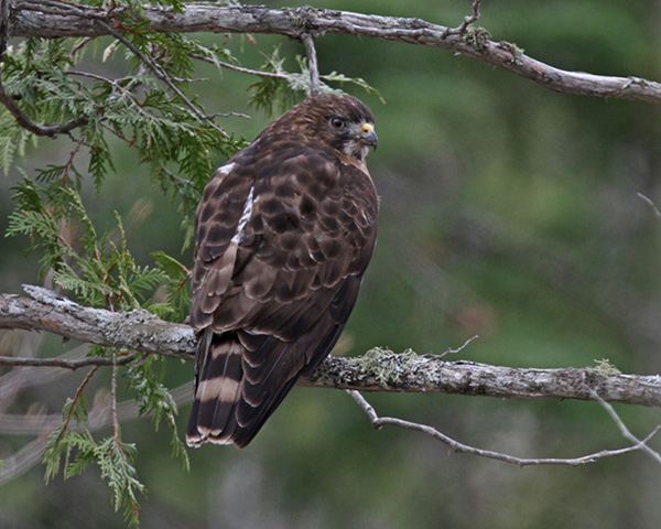 Broad-winged Hawk / Photo by Vic Berardi