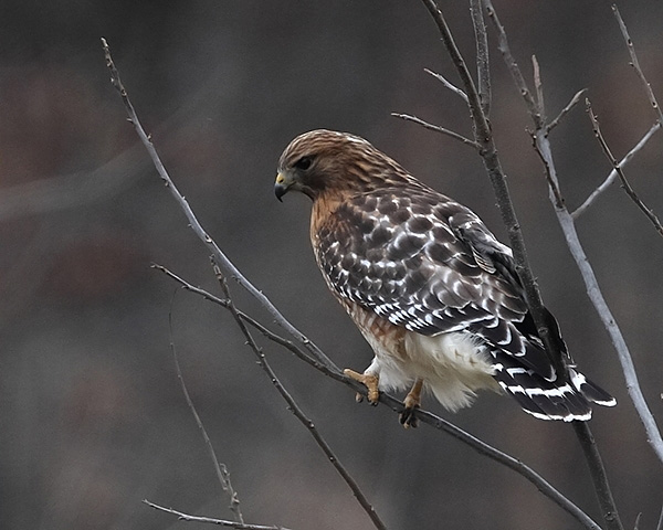 Red-Shouldered Hawk / Photo by Vic Berardi