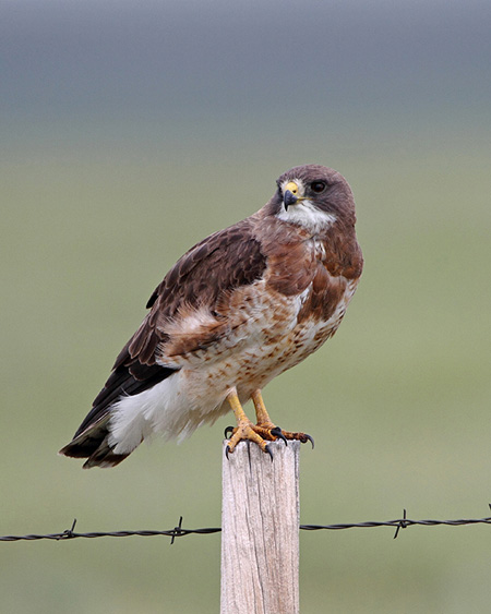 Swainson's Hawk / Photo by Vic Berardi