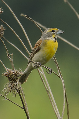 Dickcissel (Spiza americana) / Photo by Wes Gibson