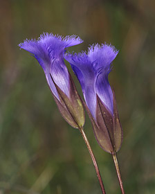 Fringed Gentian / Photo by Vic Berardi