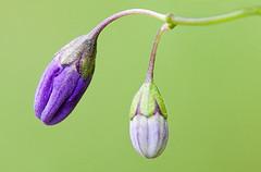 Purple Nightshade / Photo by Steve Berardi
