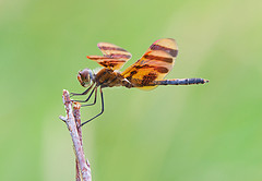 Halloween Pennant (Celithemis eponina) / Photo by Steve Berardi