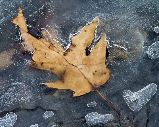 Ice & Leaves / Photo by Vic Berardi