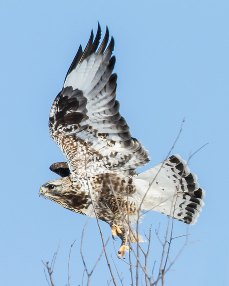 Rough-legged Hawk / Photo by Vic Berardi