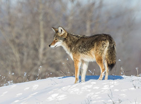 Coyote / Photo by Vic Berardi