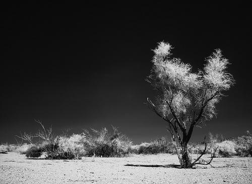 Smoke Tree / Photo by Steve Berardi