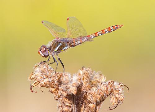 Variegated Meadowhawk / Photo by Steve Berardi