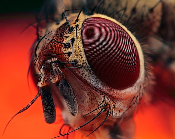 Photo by Huub de Waard / Portrait of a little fly: Magnification 8, f/8, ISO 100 and 1/250 sec