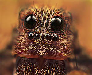 Photo by Huub de Ward / Frontal portrait wolf spider: Magnification 10, f/6.4, ISO 100 and 1/250 sec