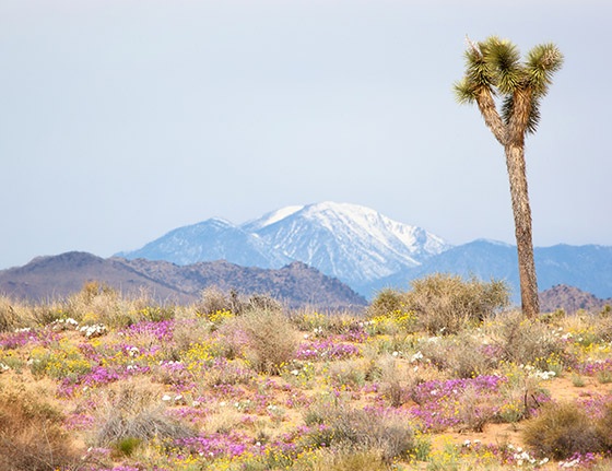Spring in the Mojave / Photo by Steve Berardi