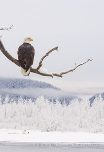 Adult Bald Eagle in the icy landscape of the Chilkat River Valley
