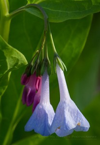 Bluebell wildflowers blooming in the spring
