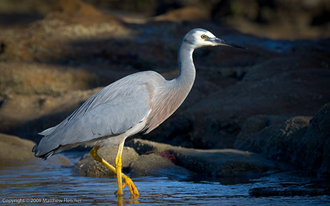 White faced heron - Photo by Matthew Fletcher