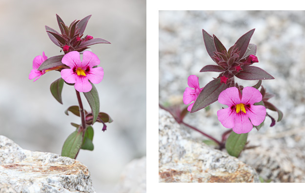 Bigelow's Monkeyflower / Photos by Steve Berardi