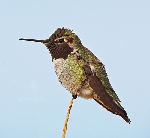 Anna's Hummingbird (male) / Photo by Steve Berardi