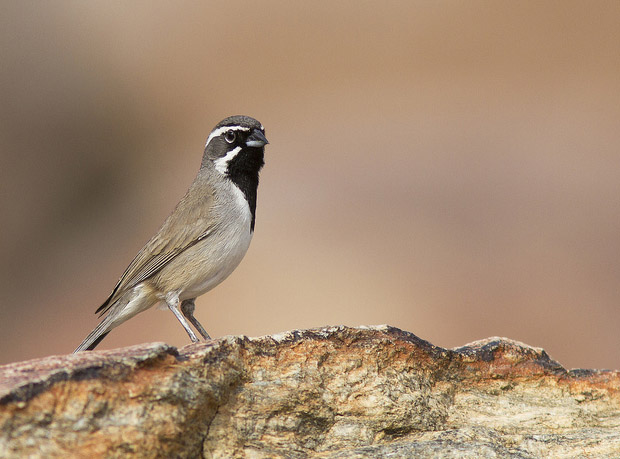 Black-throated Sparrow / Photo by Steve Berardi