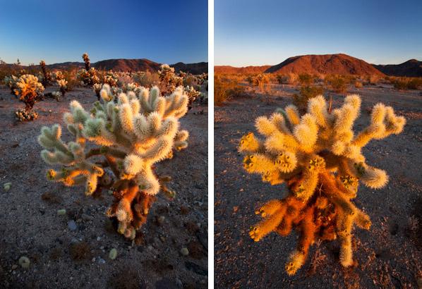 Cholla Cactus / Photos by Steve Berardi