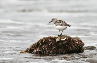 Sanderling / Photo by Steve Berardi