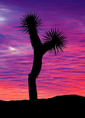 Joshua Tree / Photo by Steve Berardi