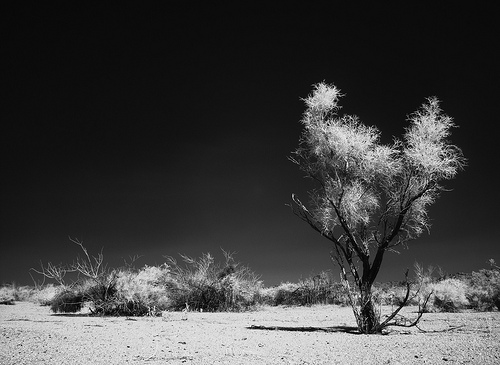 Smoke Tree / Photo by Steve Berardi