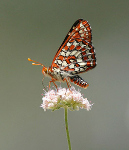 Variable Checkerspot / Photo by Steve Berardi