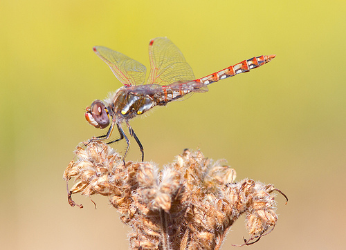 Variegated Meadowhawk / Photo by Steve Berardi