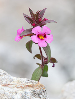 Bigelow's Monkeyflower / Photo by Steve Berardi