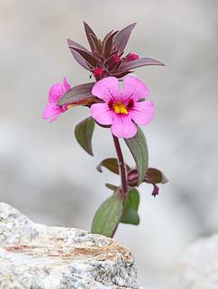 Bigelow's Monkeyflower / Photo by Steve Berardi