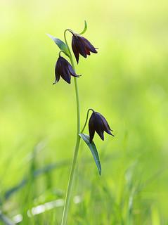 Chocolate Lily / Photo by Steve Berardi