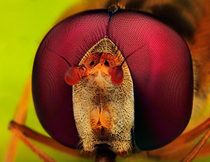 Photo by Huub de Waard / Male marmalade hover fly: Magnification 5, f/14, ISO 100 and 1/250 sec