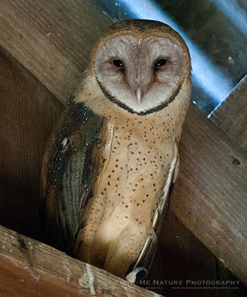 Barn Owl / Photo by Jim Braswell