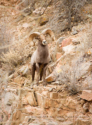 Bighorn Sheep / Photo by Jim Braswell