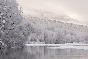 Icy Chilkat River Valley, with bald eagles in the trees