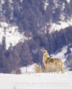 Howling Coyote in the extreme cold of Yellowstone NP in the winter