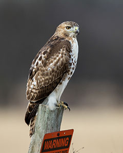 Red-tailed Hawk / Photo by Vic Berardi