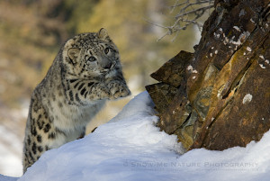 Snow Leopard yearling