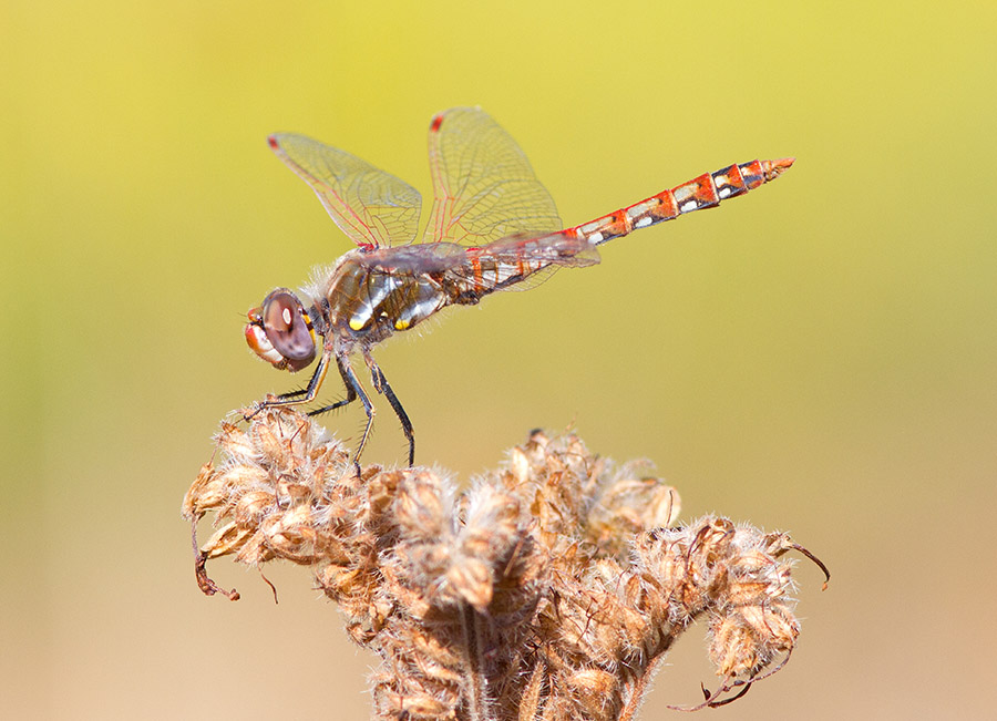 Dragonfly (Variegated Meadowhawk)