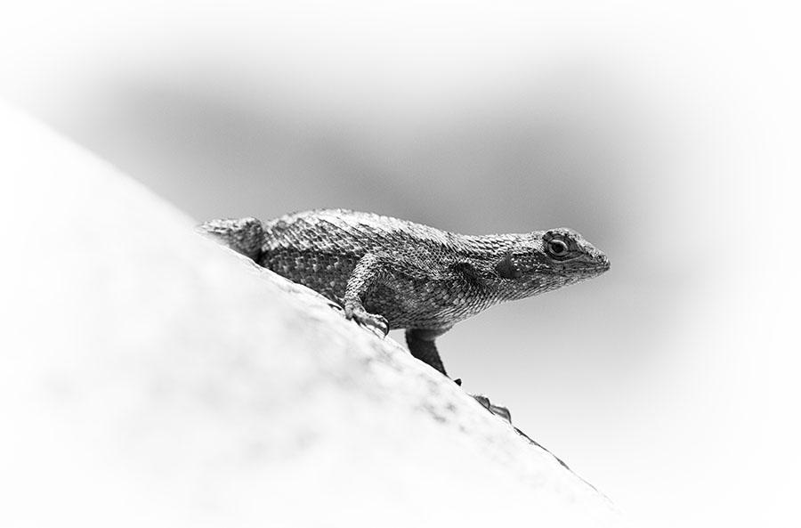 Western Fence Lizard / Photo by Steve Berardi
