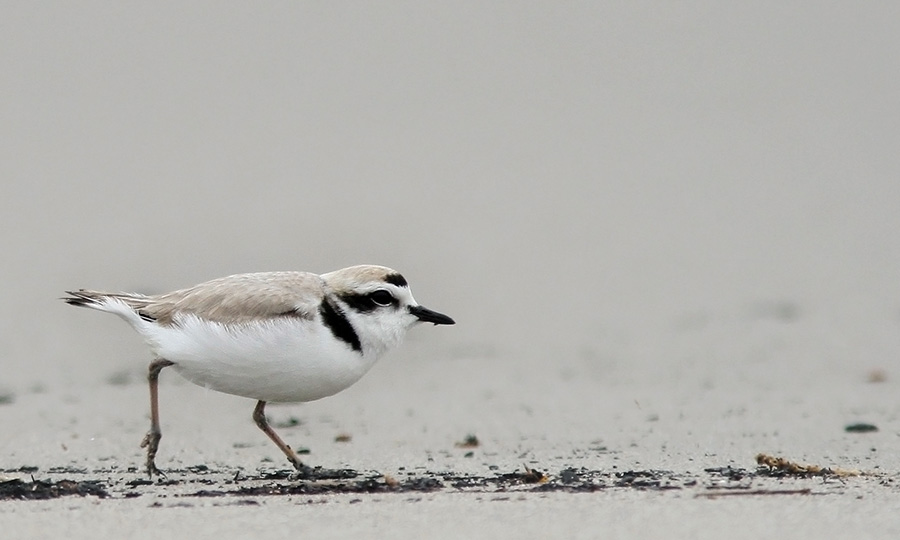 Snowy Plover Motion